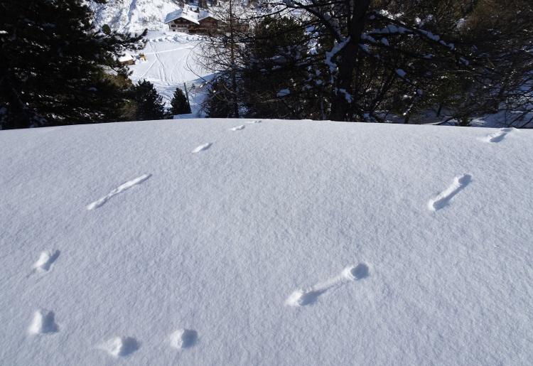 Sur les traces des animaux | De Pralong aux Mayens de Méribé