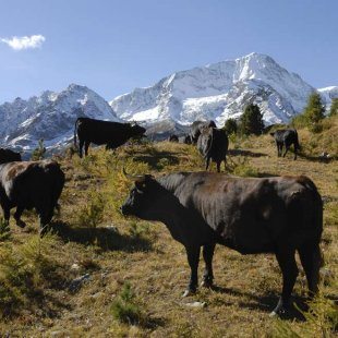 The Hérens breed, from horn to raclette.