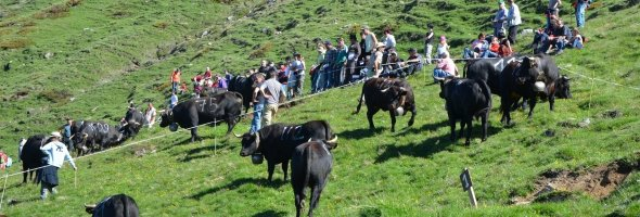 Inalpe & cow fighting